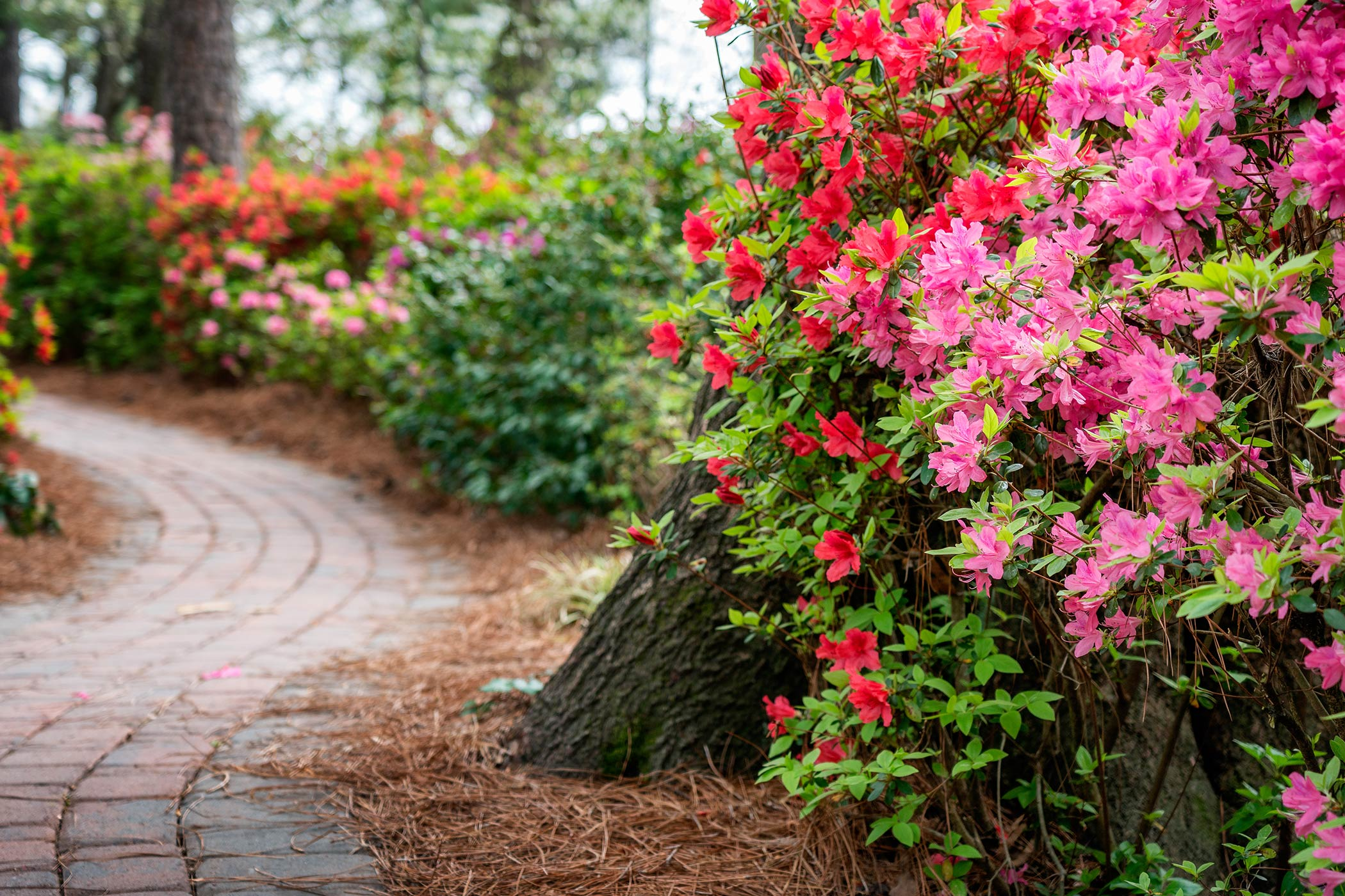 multi-colored flowering shrubs along a path